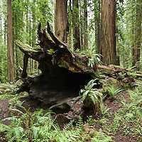 Fallen coastal redwood tree, Humbolt Redwoods state park, California