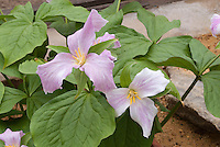 Trillium grandiflorum forma roseum, Pink Showy Large-Flowered Trillium in spring bloom