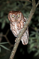 Eastern Screech-Owl Perched on limb