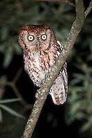 Eastern Screech-Owl Perched on limb