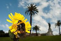 Taraxacum officinale, dandelion, White tailed Bumblebee (Bombus lucorum), in Vatican's garden, Rome, Italy