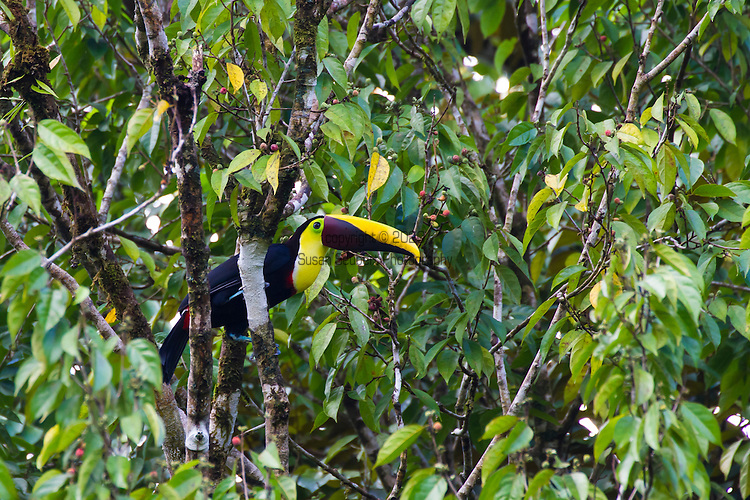 The Corcovado Nature Preserve on the Osa Peninsula of Costa Rica, Central America. Chestnut Mandibled Toucan