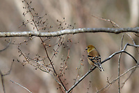 NWA Democrat-Gazette/FLIP PUTTHOFF<br /> A goldfinch feeds on seed during a hike Dec. 1, 2015 on the Tanyard Creek Nature Trail.
