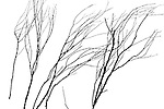 winter sketch branches in winter