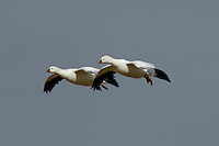 Ross's Geese in flight at Bosque Del Apache NWR