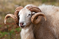Texas Dall Ram (Corsican Ram)