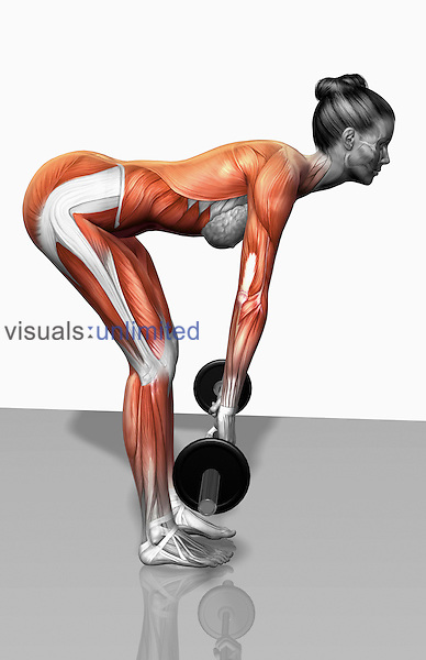The muscles involved in barbell bent over-row exercises. The agonist (active) muscles and the stabilizing muscles are highlighted. Royalty Free