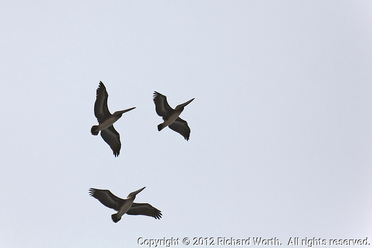 Three Brown pelicans pass directly overhead along the California coast.