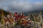 Alpine Bearberry (Arctostaphylos alpina), Dovrefjell National Park, Norway
