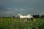 Camargue Pony, Horse, Equus caballus, in marsh field, stormy clouds, one of the olderest breeds in world, descendent of primative breeds, Horse of the Sea, Marshland of Rhone Delta, France.France....