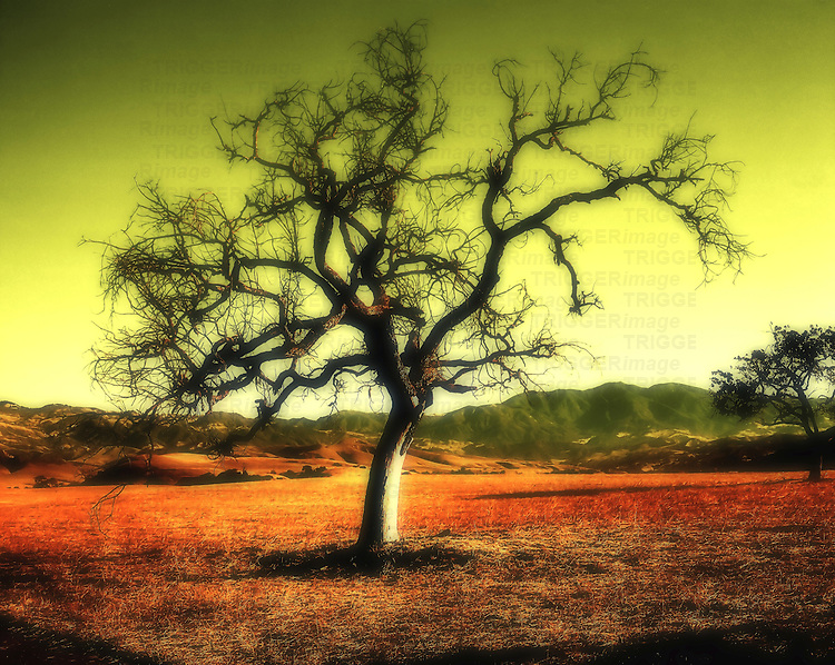 An old solitary tree