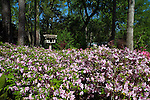 Azaleas in bloom at Mercer Arboretum and Botanical Gardens in Spring, Texas.
