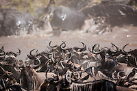 A mass of curved horns of wildebeest bottlenecked on the bank of the Mara River during the annual migration in the Masai Mara National Reserve, Kenya, Africa Long line of migrating wildebeest, Kenya (photo by Wildlife Photographer Matt Considine)