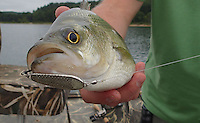 NWA Democrat-Gazette/FLIP PUTTHOFF <br /> Jigging spoons    Aug. 19, 2016    work well for catching white bass, shown here, and other game fish at Beaver Lake during summer and early fall.