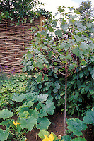 Grapes trained as standard in small garden, Vitis, amid squash zucchini vegetable plant, fruits and veggies interplanted together