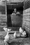 A chicken farmer looking over his chickens