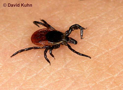 "1022-07ww  Deer Tick - Ixodes scapularis ""on human skin looking for a blood meal"" © David Kuhn/Dwight Kuhn Photography"