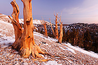 Bristlecone pines and White Mountains just prior to sunrise, Inyo National Forest, White Mountains, California, USA