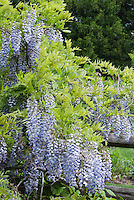 Wisteria in bloom in spring climbing vine on fence