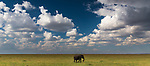 A single African elephant on a large plain, Masai Mara National Reserve, Kenya<br />