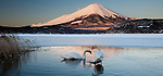 A pair of mute swans in Lake Kawaguchi disrupt the reflection of Mt. Fuji, Japan