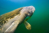 Florida manatee, breathing as it feeds on seagrass, Trichechus manatus latirostris, note heavy algae growth on its back, endangered, a subspecies of the West Indian manatee, Kings Bay, Crystal River, Florida