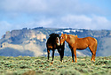 Wild Horses below Oregon Butttes in the Red Desert, Wyoming