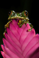Big-Eye Tree Frog (Leptopelis vermiculatus). Captive