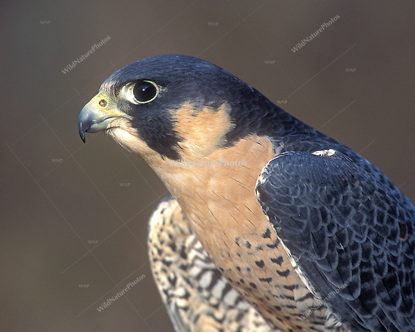 an analysis of the peregrine falcon bird falconiformes The peregrine falcon (falco peregrinus) is a cosmopolitan bird of prey in the family falconidaeit can also be known just as the peregrine, and was once called the duck hawk in north america.