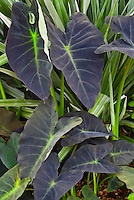 Colocasia esculenta 'Black Leaf' Taro with Astelia chathamica 'Silver Spear'