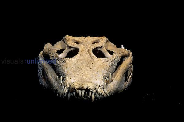 American Crocodile skull ,Crocodylus acutus,.
