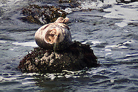 A harbor seal balances on that portion of rock above water at Bean Hollow State Beach, California.