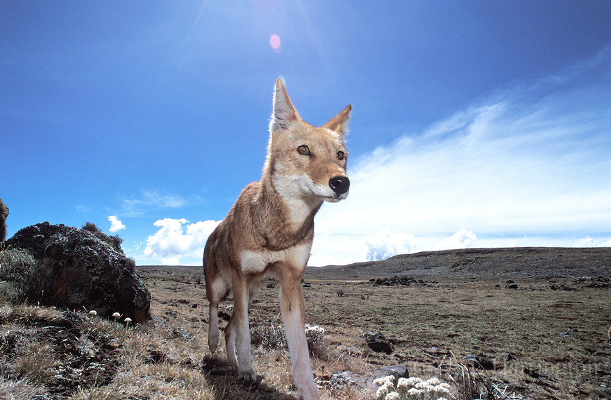 1000 images about ethiopian wolf on pinterest