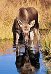 Moose calf, Yellowstone National Park, Wyoming, USA