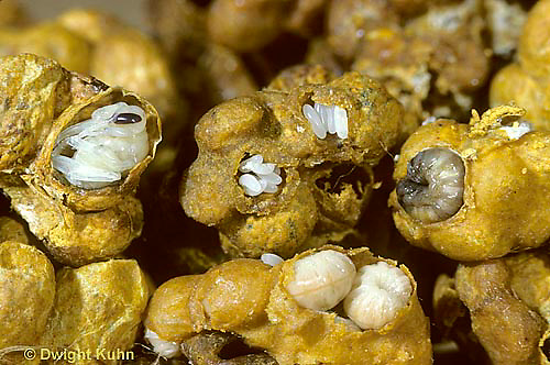 BU34-001f  Bumblebee - colony with eggs, larvae, pupae - Bombus impatiens