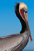 This California brown pelican (Pelecanus occidentalis californicus) is photographed in profile closeup.  The Pelican is seen against the blue California sky with the ocean/horizon just visible at the bottom of the frame, and has just returned from fishing.  A single drop of water can be seen dropping from its beak, frozen in mid air.