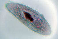 PARAMECIUM MULTIMICRONUCLEATUM 400X<br />