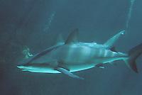 Iles Bahamas / New Providence et Paradise Island / Nassau: Hotel Atlantis à Paradise Island-les aquariums géants-requin