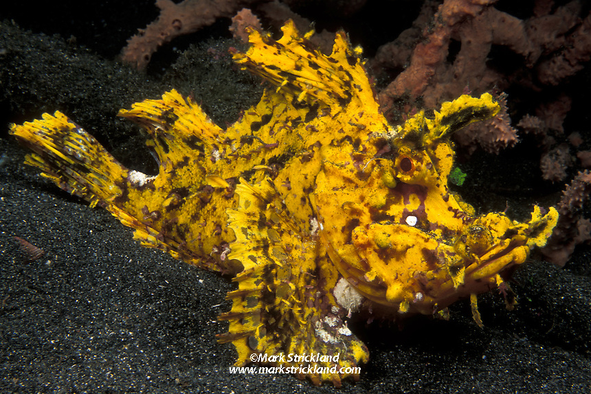 A rarely seen, brilliant yellow Weedy Scorpionfish, Rhinopias frondosa, widely considered a Holy Grail of u/w photo subjects. Manado, North Sulawesi, Indonesia, Pacific Ocean