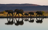 Elephants (Loxodonta africana) and their reflections in single file.