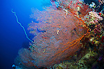 Gorgonian-Gorgone (Gorgonacea) of Red Sea, Sudan