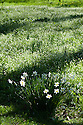 White daffodils (Narcissus) against a background of white bluebells, mid April.