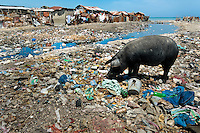 Pigs search for food in the rotten garbage around shacks in the slum of Cité Soleil, Port-au-Prince, Haiti, 11 July 2008. Cité Soleil is considered one of the worst slums in the Americas, most of its 300.000 residents live in extreme poverty. Children and single mothers predominate in the population. Social and living conditions in the slum are a human tragedy. There is no running water, no sewers and no electricity. Public services virtually do not exist – there are no stores, no hospitals or schools, no urban infrastructure. In spite of this fact, a rent must be payed even in all shacks made from rusty metal sheets. Infectious diseases are widely spread as garbage disposal does not exist in Cité Soleil. Violence is common, armed gangs operate throughout the slum.