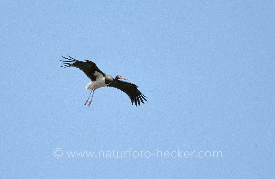 Schwarzstorch, im Flug, Flugbild, fliegend, Schwarz-Storch, Ciconia nigra, black stork