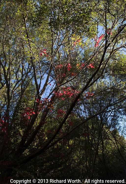 Red leaves hover over stark black lines drawn by otherwise bare branches - a fall preview, perhaps,