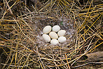 Idaho, Canyon County, Snake River, Deer Flat National Wildlife Refuge, goose nest survey, eggs in a ground nest