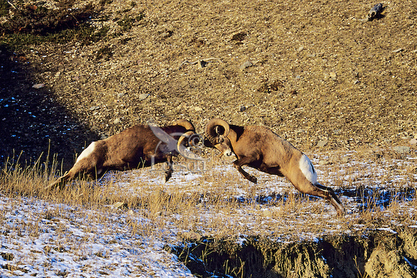 Rocky Mountain Bighorn Sheep Rams butting heads--dominance behavior.  Canadian Rockies. Fall rut.