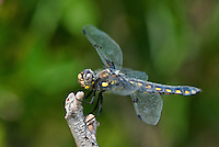 389330004 a wild female hoary skimmer libellula nodisticta perches on a dead twig in fish slough mono county callifornia