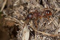 Wald-Knotenameise, Waldknotenameise, Knotenameise, Knoten-Ameise, Langdornige Rote Knotenameise, Langdornige Rote Gartenameise, Myrmica ruginodis, Knotenameisen, Myrmicinae, red myrmicine ants