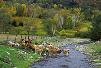 Cows crossing a stream